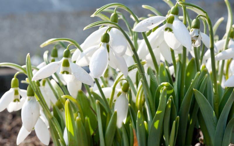Spring Snowdrop Royalty Free Stock Photos
