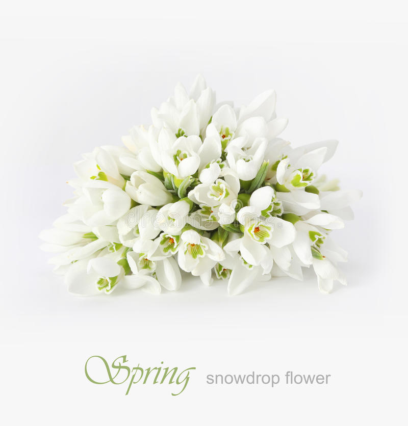 Spring snowdrop flower royalty free stock image