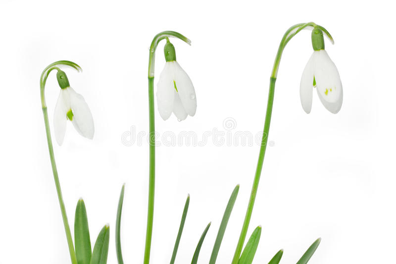 Download Spring snowdrop flowers stock image. Image of drop, corolla - 23800303