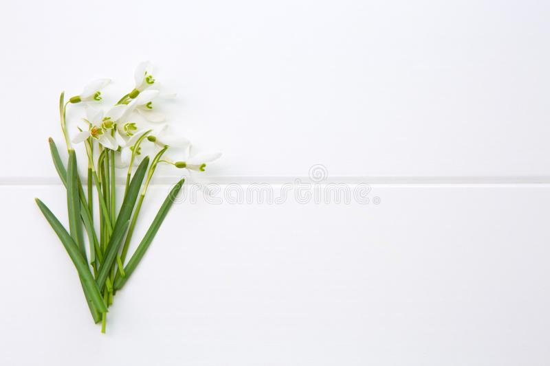 Spring snowdrop isolated . royalty free stock photo