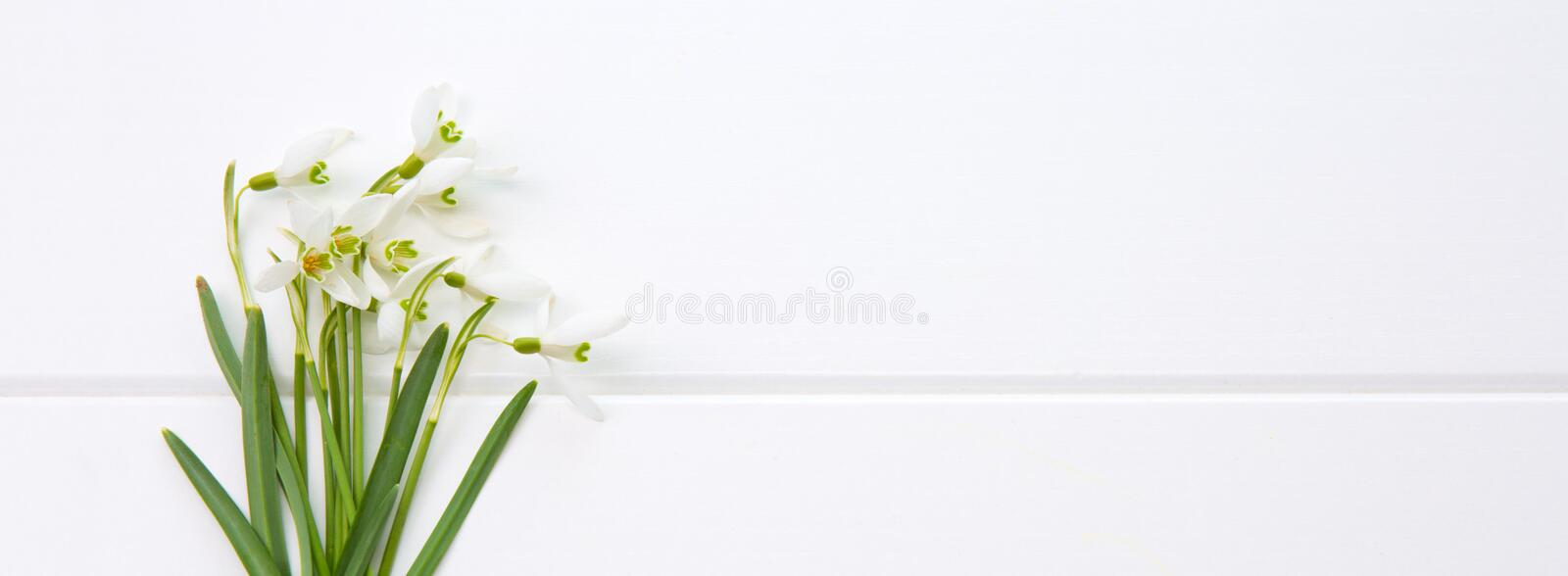 Spring snowdrop isolated . royalty free stock image