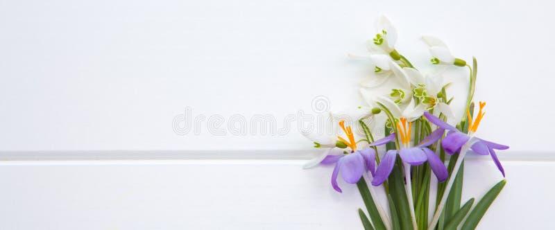Spring snowdrop and purple crocus . stock photos
