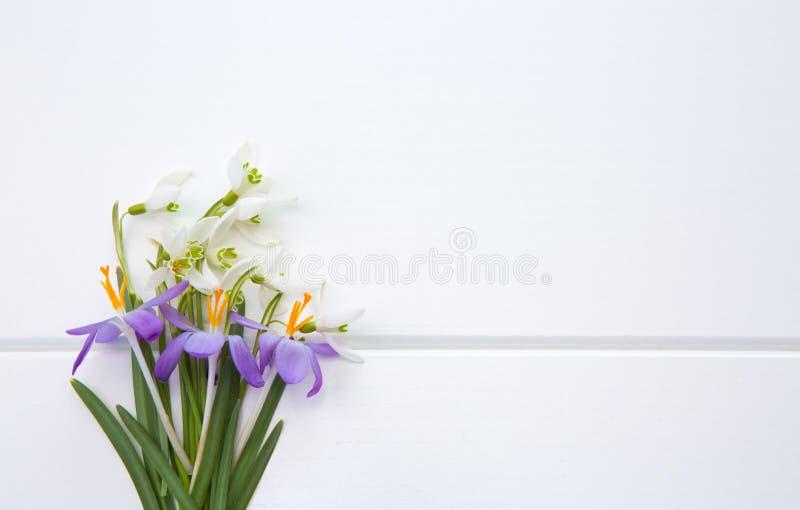 Spring snowdrop and purple crocus . royalty free stock image