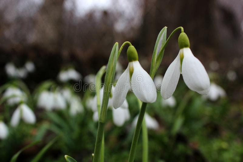 Spring snowdrops bloom, white water lilies grow. Green leaves, seasons and nature, tenderness and freshness, photo for background and design, postcard, symbol stock images