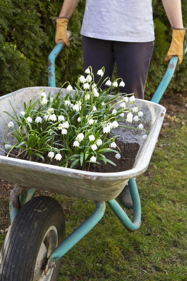 Free Spring Snowflake Flowers In A Wheelbarrow Stock Images - 23895104
