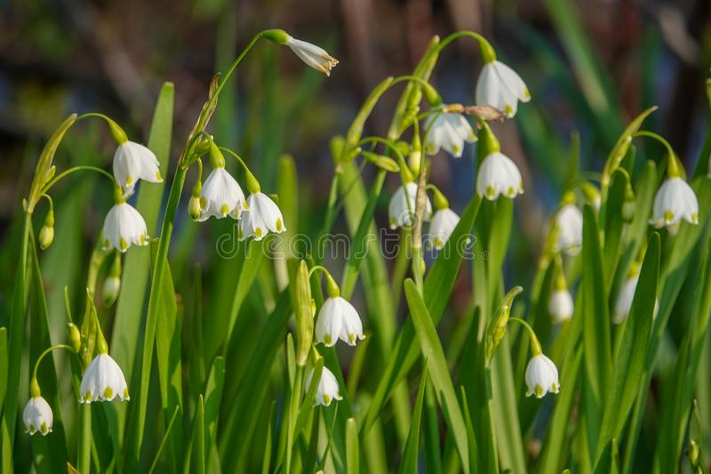 Spring Snowflake Leucojum Flowers. Spring Snowflake Flowers Leucojum aestivum are dainty white flowers with green dots that bloom in late winter and early spring stock photo