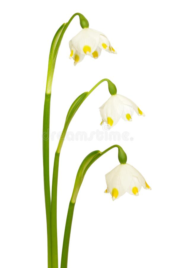 Spring snowflake Leucojum vernum flowers stock photo