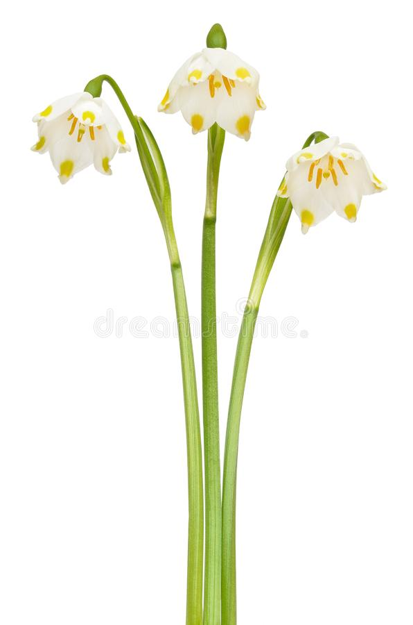 Spring snowflake Leucojum vernum flowers royalty free stock photos