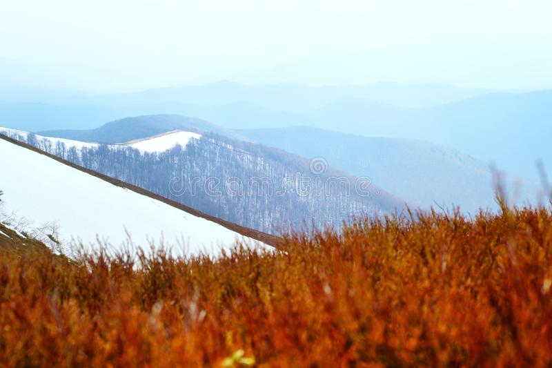 Spring snowy hills with red blueberry. Bushs in Carpathian mountains. Landscape photography stock image