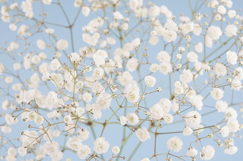 Spring soft white small fluffy flowers on pastel blue sky background, closeup, texture. stock image