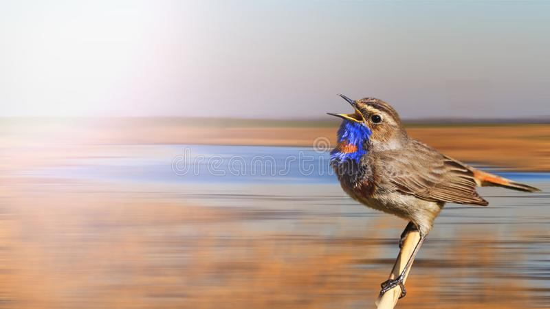 Spring song of a beautiful bird with a blue throat stock image