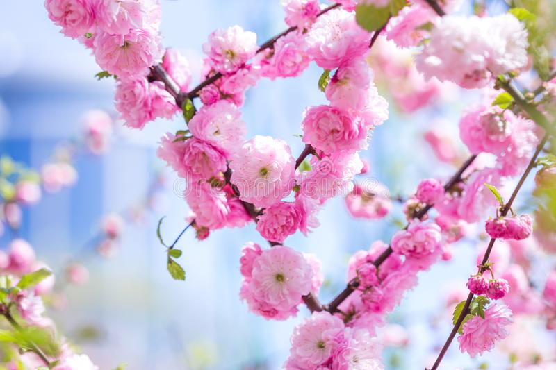 Spring spirit: Branches of Prunus triloba - louiseania with beautiful pink flowers on blurry white background with bokeh royalty free stock photos