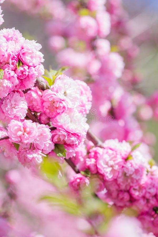 Spring spirit: Branches of Prunus triloba - louiseania with beautiful pink flowers on blurry white background with bokeh royalty free stock image