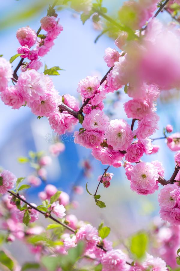 Spring spirit: Branches of Prunus triloba - louiseania with beautiful pink flowers on blurry white background with bokeh royalty free stock photography