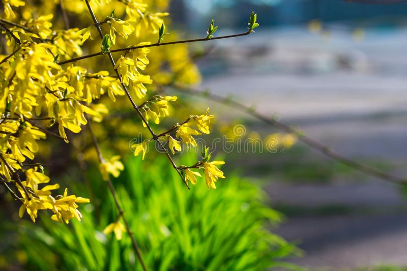 Spring spirit: forsythia bush branches with yellow sunlit flowers and green grass stock image