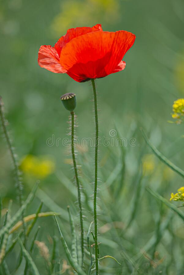 Spring spirit at red field of poppies and beautiful nature, single poppy, countryside royalty free stock images