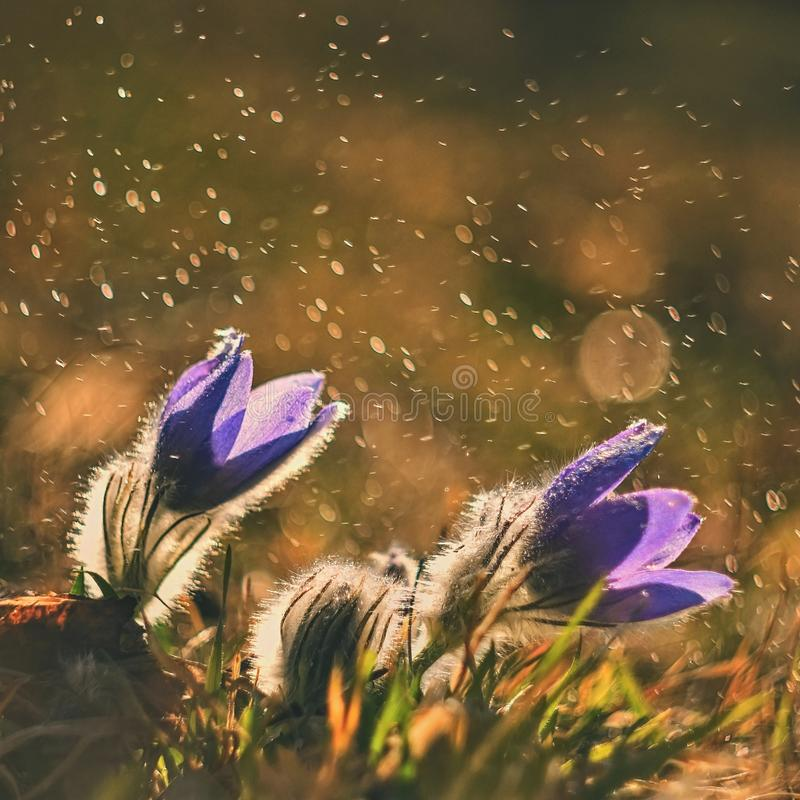 Spring and springtime flower in the rain. Blooming beautiful flowers on a meadow in nature. Pasque flower and sun with a natural royalty free stock images