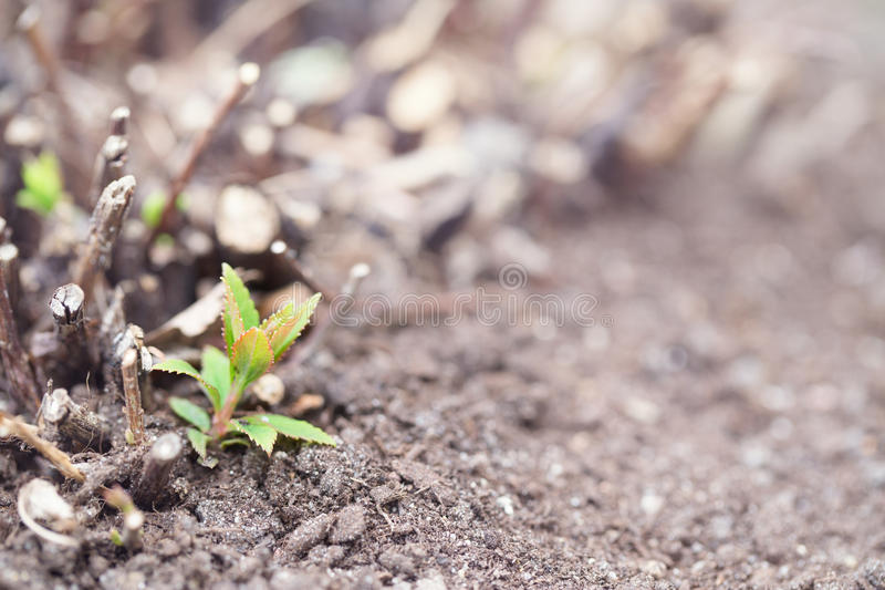 Spring sprout of a bush among the gray soil. Green sprout, close up, selective focus. It is toned royalty free stock images