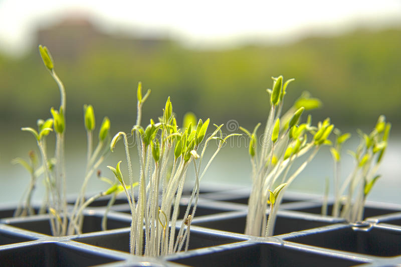 Spring Sprouts Stock Images