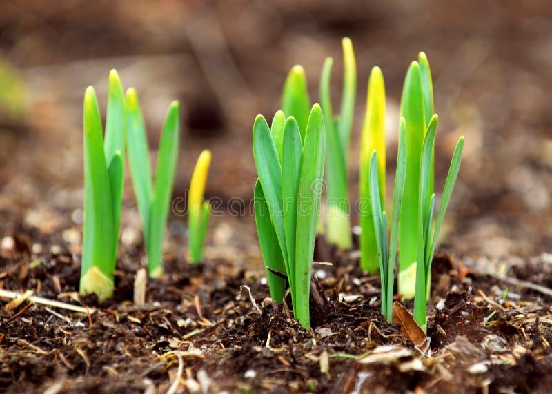 Spring spruiten op stock foto's