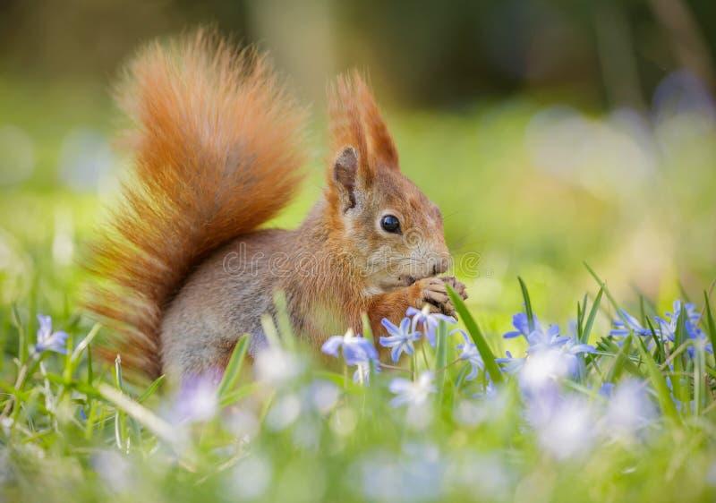 Spring squirrel stock photos