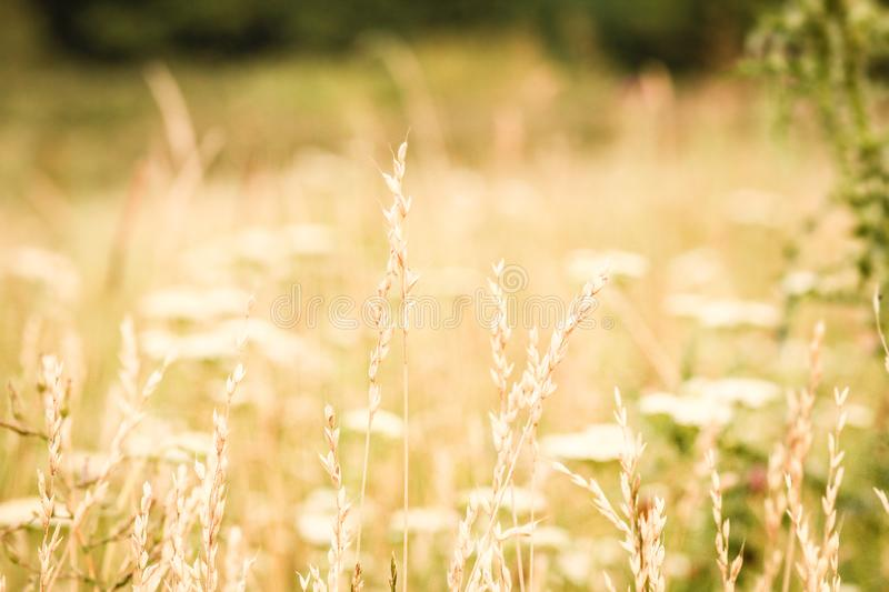 Spring or summer abstract nature background with grass in the meadow and blue sky in the back. A Spring or summer abstract nature background with grass in the stock images