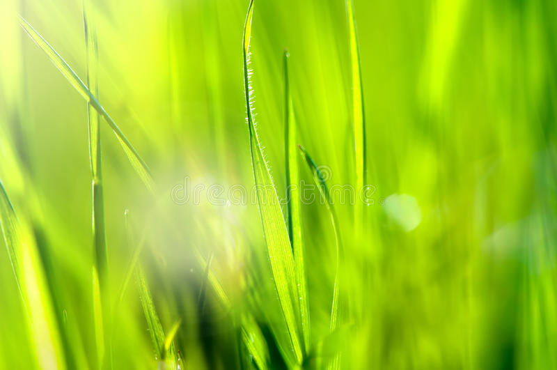 Spring and summer abstract nature background with grass and sun. Close-up and macro royalty free stock image