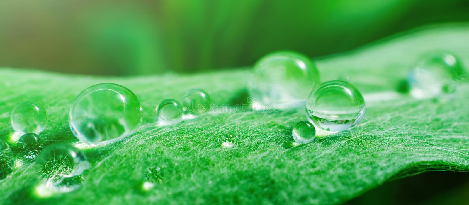 Spring summer banner - drops on a fresh spruce leaf, macro photo. royalty free stock photography