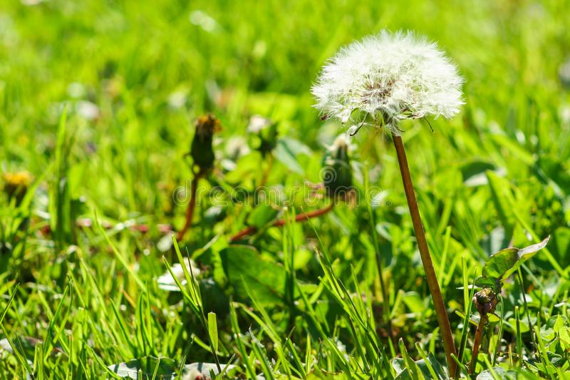 Spring and  summer concept. Close-up photo of ripe dandelion. Dandelion in the green grass. Spring and  summer concept. Close-up photo of ripe dandelion stock photo