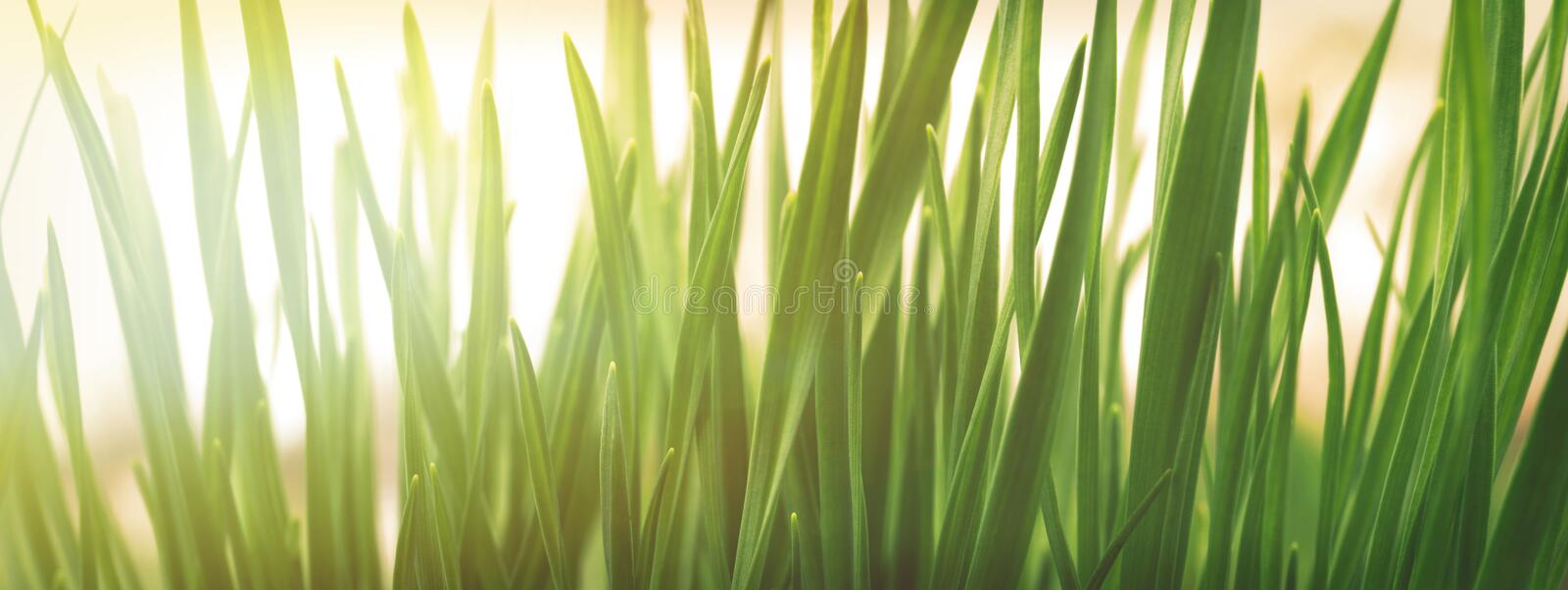 Spring or summer natural background with fresh grass stock image