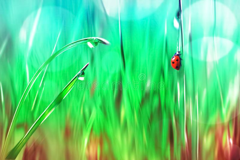 Spring summer natural background. Red ladybug on green grass with raindrops. Artistic bright multi-colored image. Spring summer natural background. Red ladybug royalty free stock photos