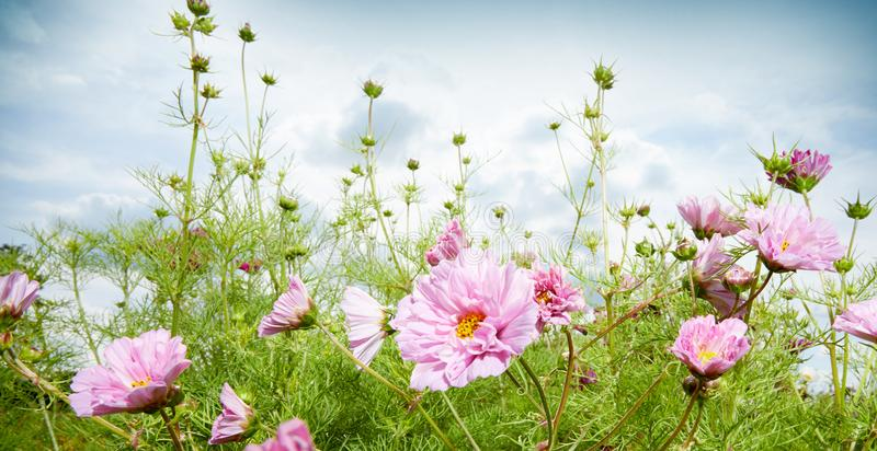 Spring or summer panorama banner with pink flowers royalty free stock photo