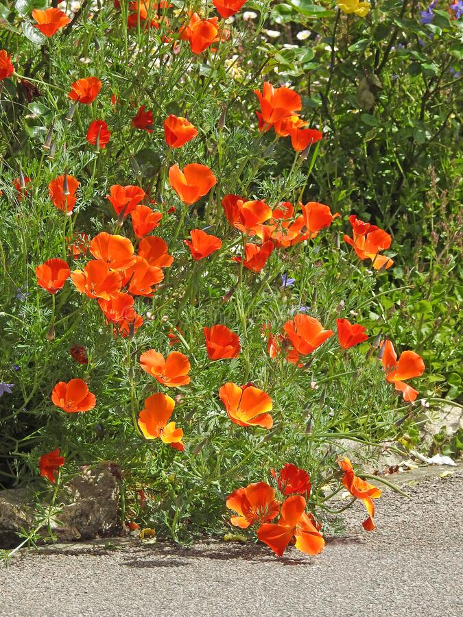 Spring summer pot container plants flowers poppy poppies orange red pots small garden gardens grass pampas planting nature wild stock image