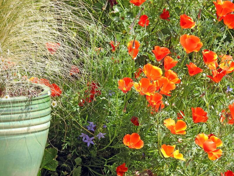 Spring summer pot container plants flowers poppy poppies orange red pots small garden gardens grass pampas planting nature wild stock photo