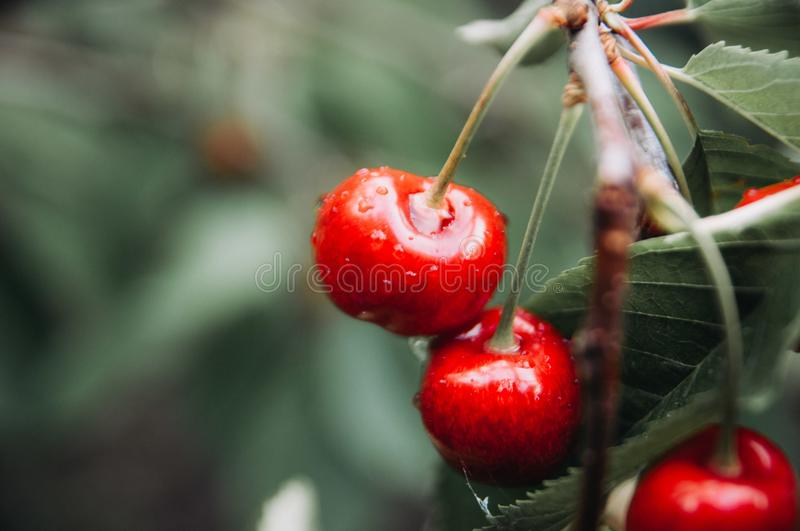 The tree weighs a bunch of cherries royalty free stock images