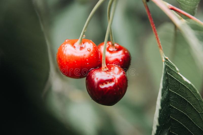 The tree weighs a bunch of cherries royalty free stock image
