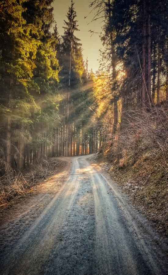 Spring sun rays among the trees that shine the forest alley. Spring sun rays trees shine forest alley sunrise royalty free stock image