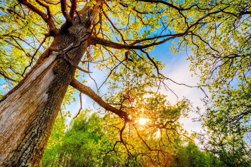 Spring Sun Shining Through Canopy Of Tall Oak. Trees. Upper Branches Of Tree. Sunlight Through Green Tree Crown - Low Angle View stock photo