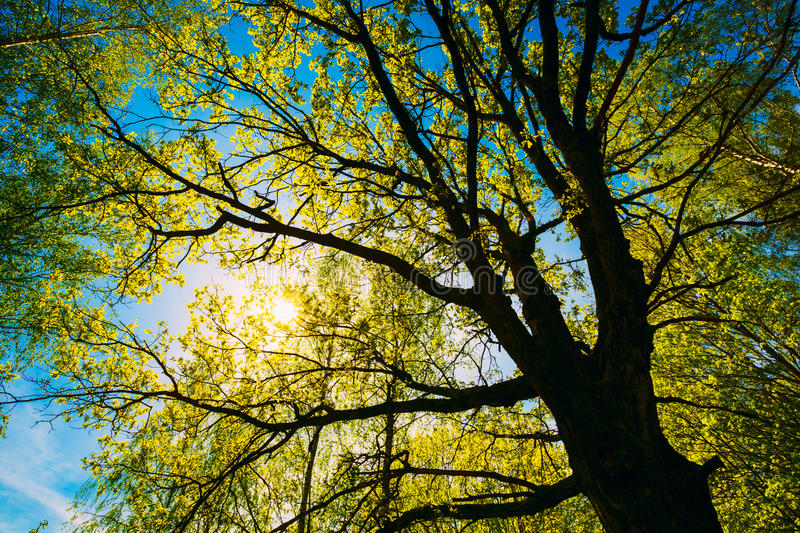 Spring Sun Shining Through Canopy Of Tall Oak. Trees. Upper Branches Of Tree. Sunlight Through Green Tree Crown - Low Angle View royalty free stock photo