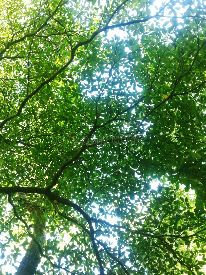 Spring Sun Shining Through Canopy Of Tall Tree. Sunlight In Deciduous Forest, Summer Nature, Sunny Day. Upper Branches Of Tree Wi stock photography
