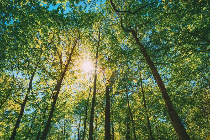 Spring Sun Shining Through Canopy Of Tall Trees. Upper Branches Of Tree. Sunlight Through Green Tree Crown - Low Angle View stock photo