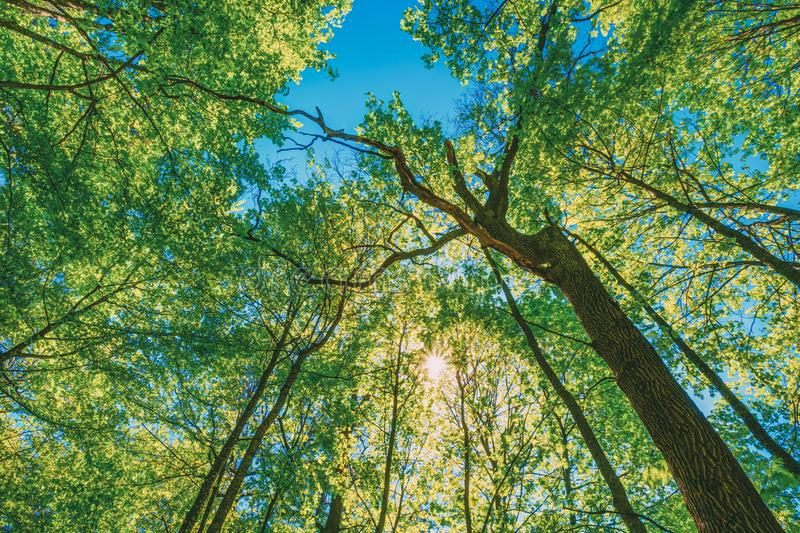 Spring Sun Shining Through Canopy Of Tall Trees. Upper Branches Of Tree. Sunlight Through Green Tree Crown - Low Angle View royalty free stock images