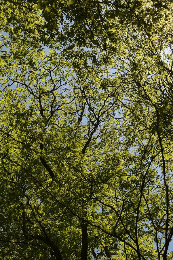 Spring Sun shining trough green tree crowns royalty free stock image