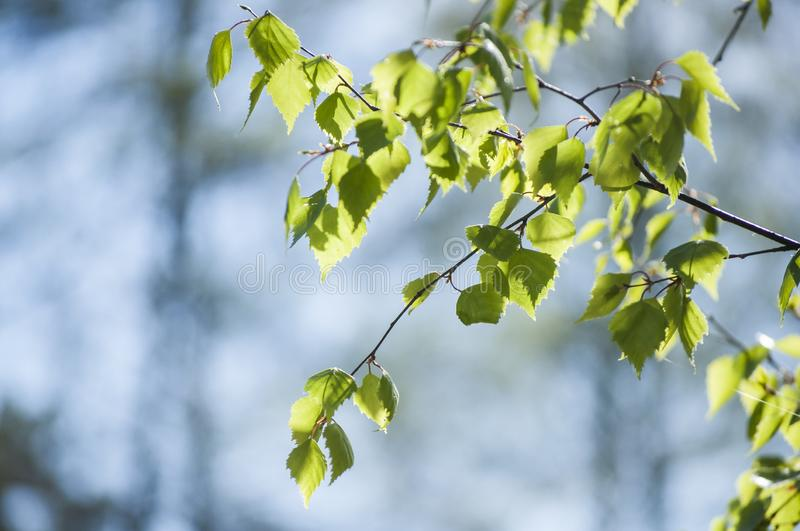 Spring in forest with closeup of first fresh green leaves of birch tree branches in sunlight on blurred blue background stock images