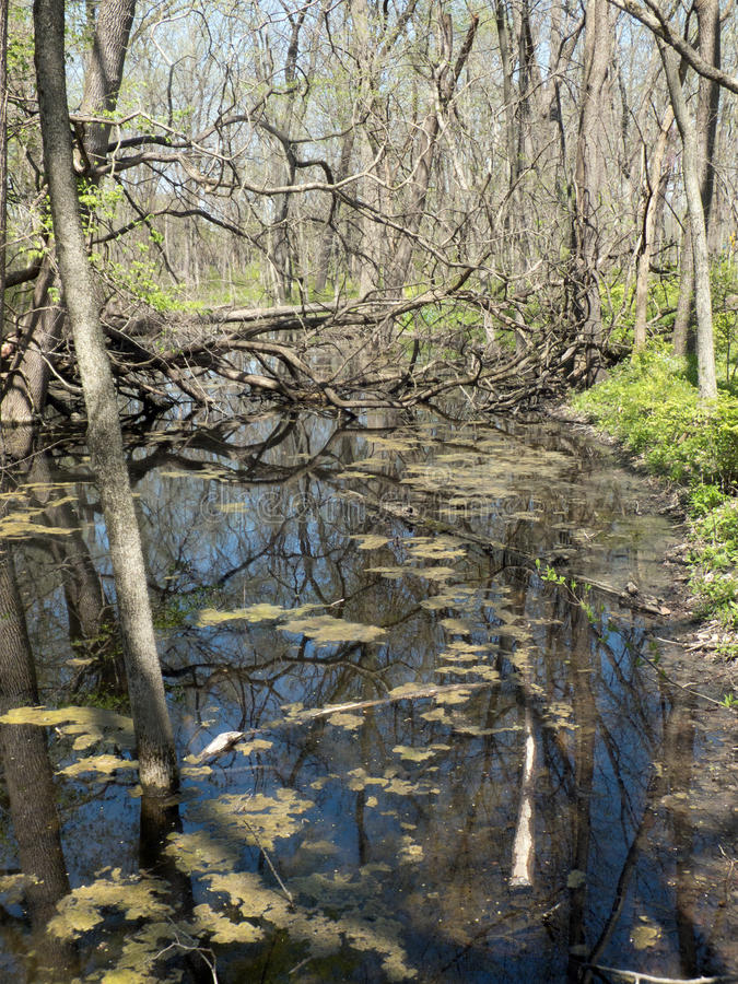 Spring Swamp. Swampy land in Spring consisting of emergent and surrounding flora and forest plant life stock photo
