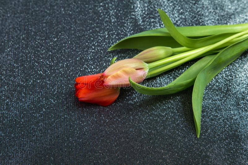Spring tender bud of pink tulip with green leaf against the background stock images
