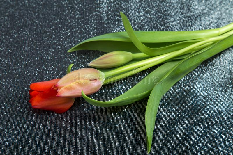 Spring tender bud of pink tulip with green leaf against the background royalty free stock image