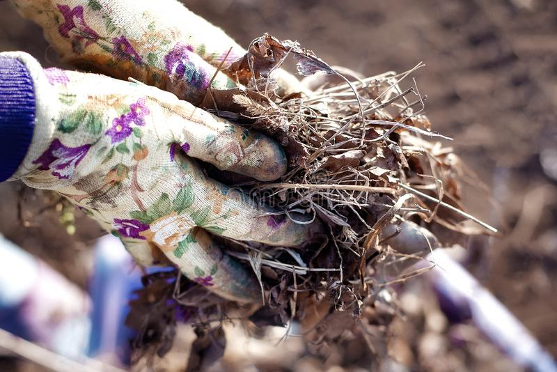 Spring tidying up: close up of gardener hands in working gloves collecting old leaves and dry glass royalty free stock image