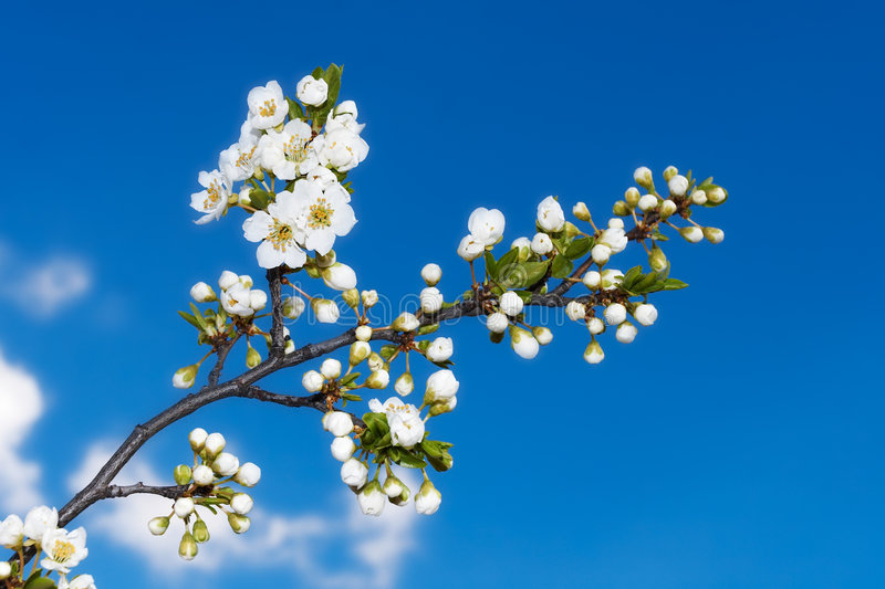Spring Time. An apple tree branch with flowers