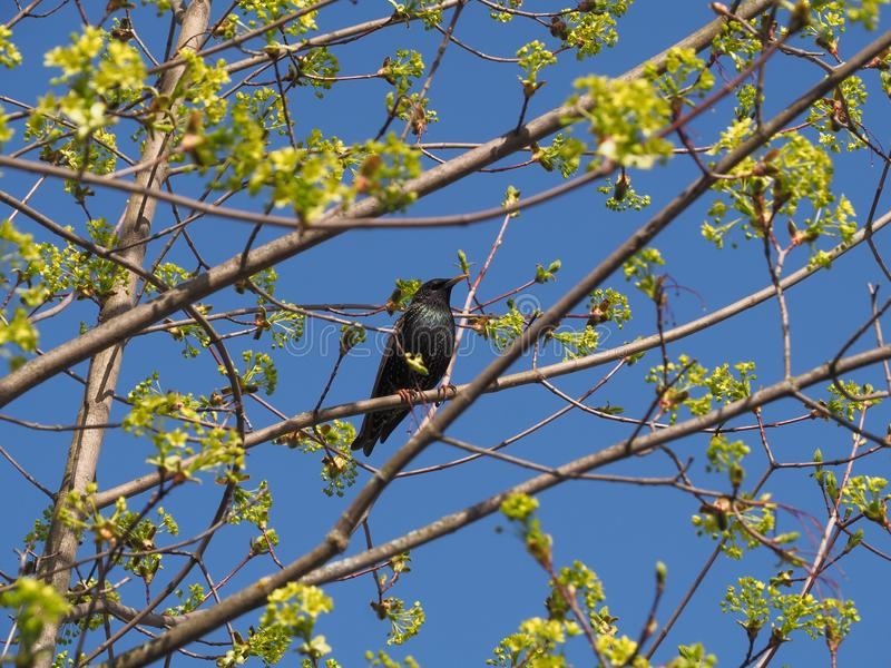 Starling bird on a maple branch in spring. Spring is the time of awakening of nature, the sun shines brightly in the blue sky, leaves bloom on the trees stock image